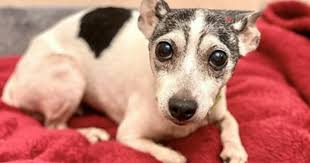toy fox terrier found 12 years after