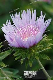 STOKESIA LAEVIS 'BLUE STAR', Stock Photo, Picture And Rights Managed Image.  Pic. GWG-TNY102 | agefotostock