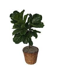 fiddle leaf fig in zeeland mi don s