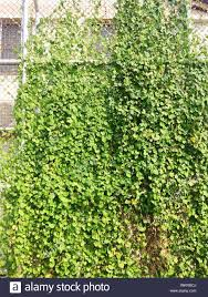 Creeper Plants Growing On Chainlink Fence Stock Photo Alamy