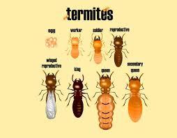 31+ Black Worker Termites Pictures