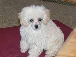 wb poodle home teacup poodles tiny