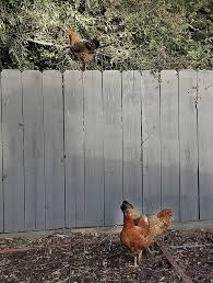 Any Success Using Bird Spikes On Fence To Keep Chickens In Backyard Chickens Learn How To Raise Chickens