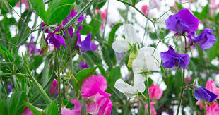 How To Plant Grow And Care For Sweet Pea Flowers Gardener S Path