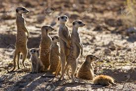 Suricate Family Standing In The Early Morning Sun Back Lit Looking ...