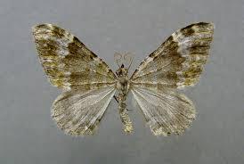 Coenotephria - Wikipedia