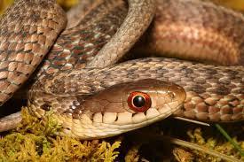what do garter snakes eat embora pets