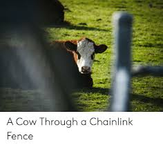 A Cow Through A Chainlink Fence Cow Meme On Me Me