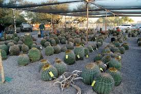 cactuses at risk