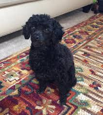 toy poodle rehoming adoptable pet