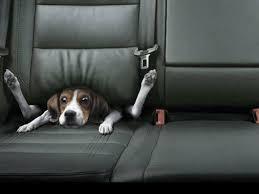 dog stuck in car seat wallpaper 39125