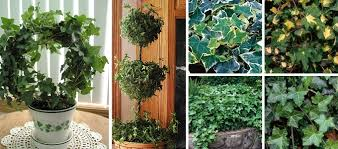 ivy topiary made easy my garden life