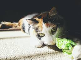 why cats eat and chew on plastic