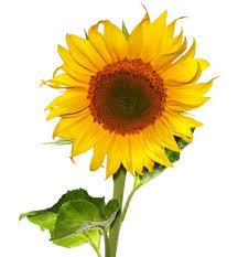 sunflower kernels nutrition