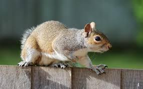 get rid of squirrels in the garden