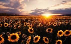 76 4k ultra hd sunflower wallpapers
