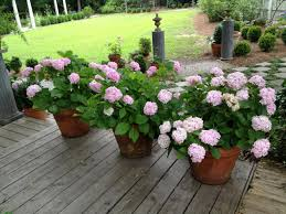 growing hydrangeas in pots container