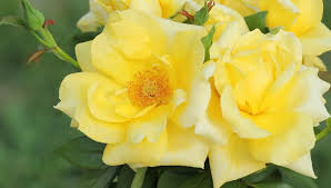 yellow roses stock fooe video 100