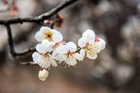 매화꽃 이미지 검색결과