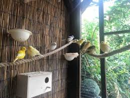 Birds for sale in Burton Upon Trent - Buy, Sell & Rehome Birds ...