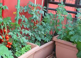 vegetable container gardening for