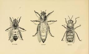 honey bee queen worker drone drone hd