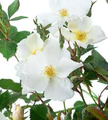 david austin rose kew gardens rosa
