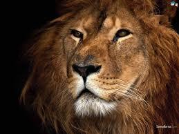 65 lion face wallpaper on wallpapersafari