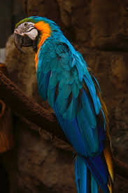 blue and gold macaw hd wallpaper