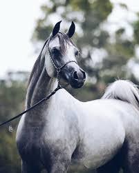 Horses Arabianhorse Twitter