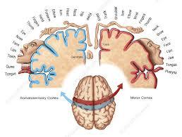 cortical homunculus ilration
