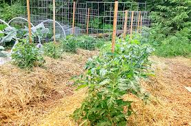 How To Trellis Tomatoes For Maximum Yield