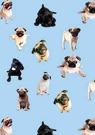 funny pug pictures wallpaper 75 images