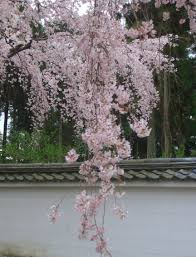 cherry trees used in anese gardens