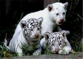 white tiger cubs baby s photo