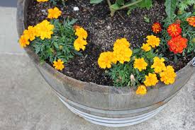 french marigold pod easy edible gardening