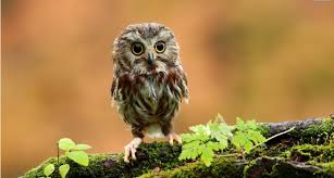 25 owl wallpapers backgrounds images