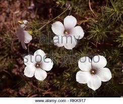flowers of linum suffruticosum