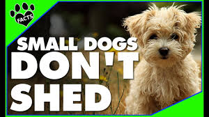 top 10 small dog breeds that don t shed