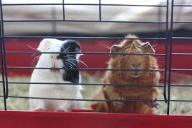 the 25 best guinea pig cages of 2020
