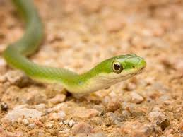 a guide to caring for pet green snakes