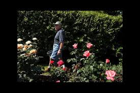 rose gardening for dummies what it