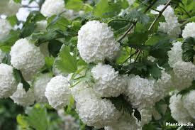 Guelder Rose Tree, Viburnum opulus - Facts, How to Care and Prune -  Plantopedia