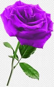 وردة زهرة أرجواني أرجواني أبيض Png Pngegg