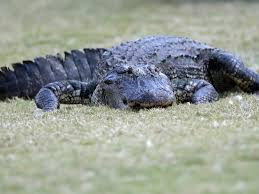The Wildest Things Alligators Have Done In 2019 Insider