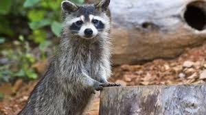 Racoons Can Cause Damage To Garden Property