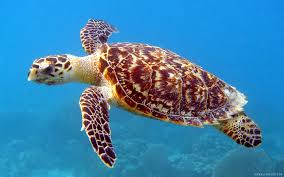 sea turtle wallpaper 2880x1800 40881