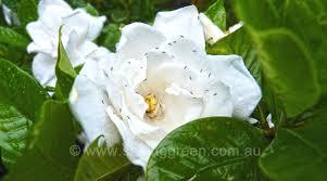 gardenia hydrangea