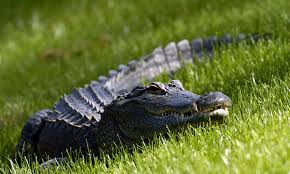 Alligator Caught On Video Climbing Over A Fence Video