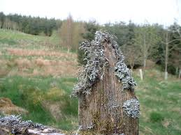 File Lichen On Top Rotting Wood Fence Post Geograph Org Uk 1303701 Jpg Wikimedia Commons